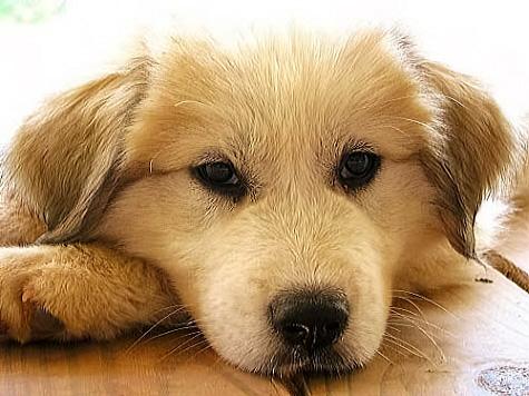puppy, thinking