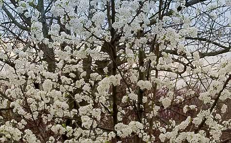bradford-pear-blossoms