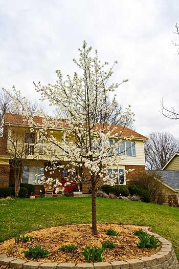 bradford-pear-front-yard