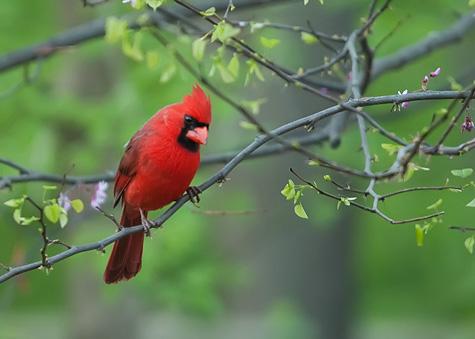 cardinal-in-redbud