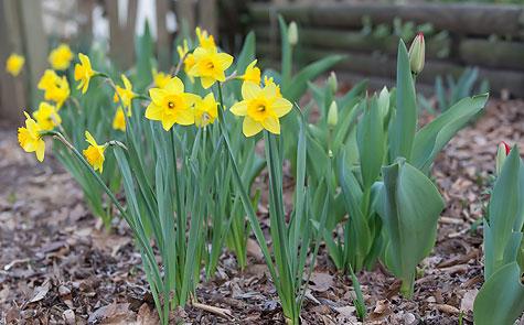 daffodil-protectors-3