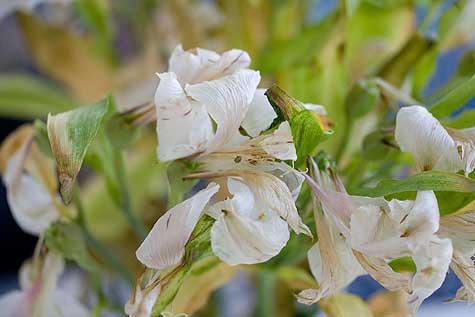 old astramaris bouquet