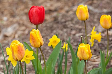 last-tulips-1
