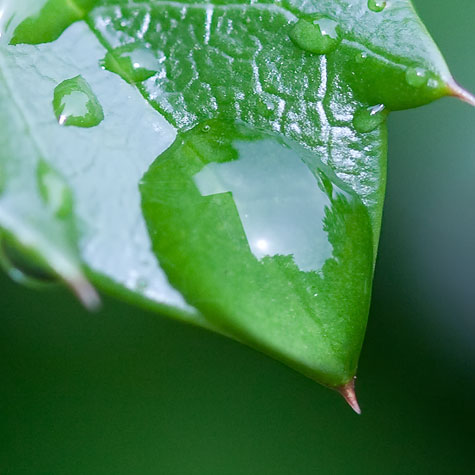 macro-holly-leaf