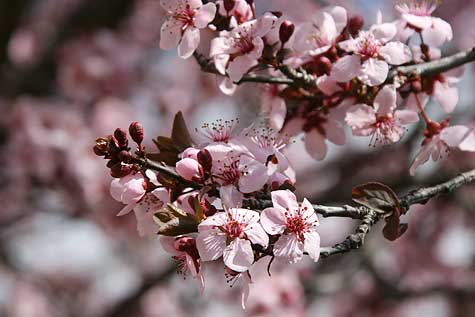 pink-blossom-tree
