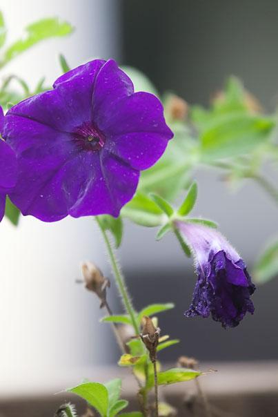 purple-petunia