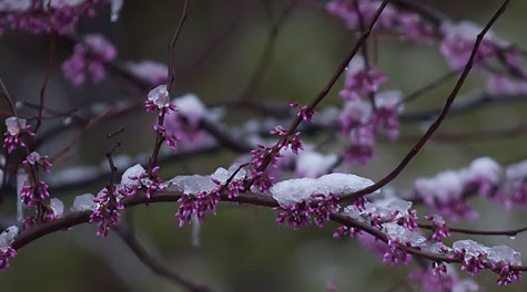 snow-redbud
