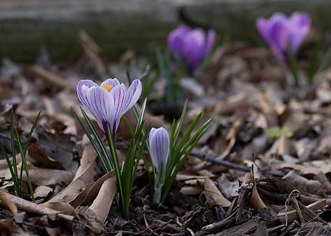 violet-and-purple-crocus