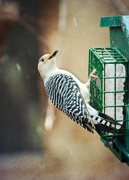birds-in-snow-4518