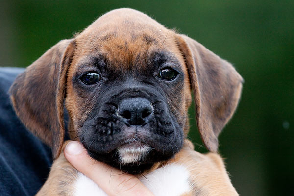 boxer-puppy-8196