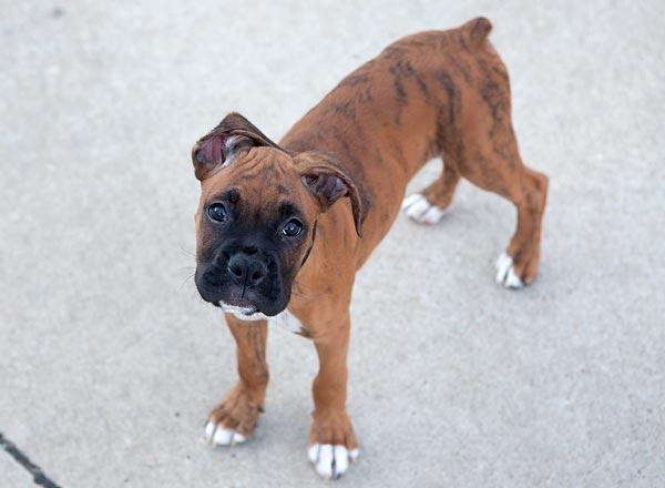 boxer-puppy-8779