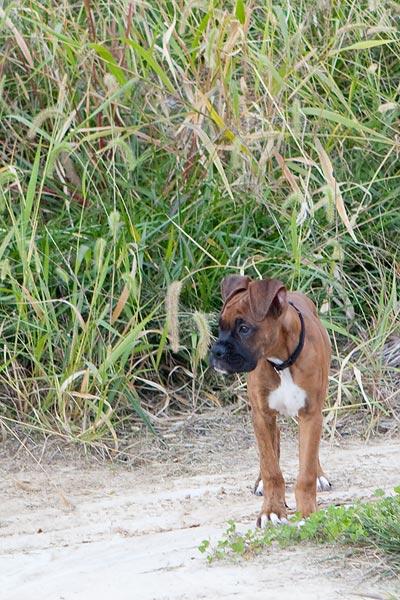 boxer-puppy-8784