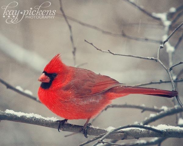 cardinal-in-snow-5394