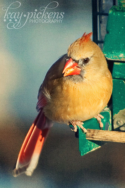 female-cardinal-4689