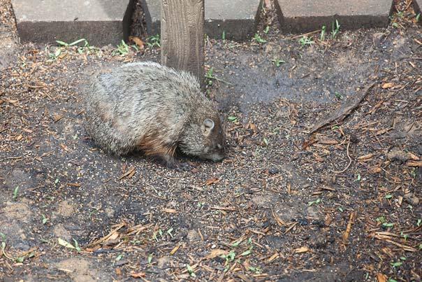groundhog-7910