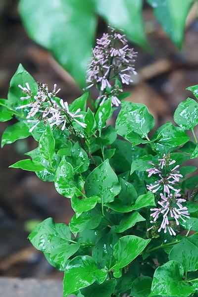 lilac-6697-2