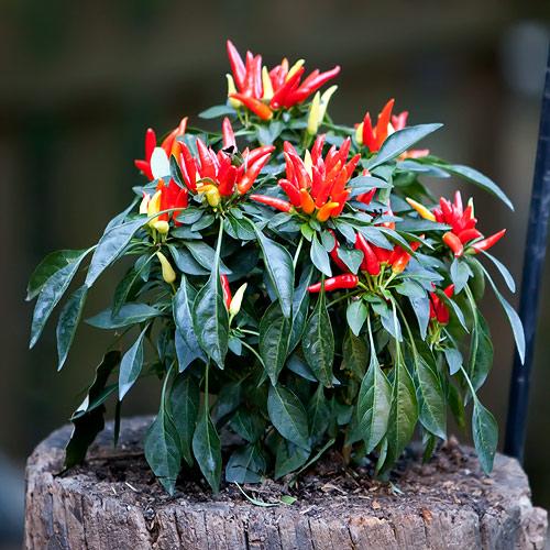 pepper-plant-8794