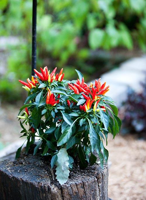 pepper-plant-8804