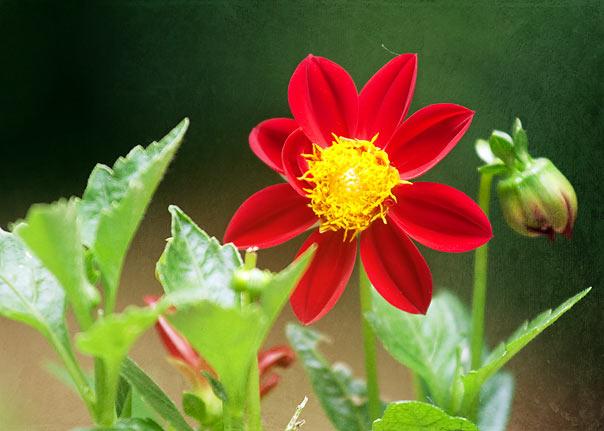 red-flower-7857