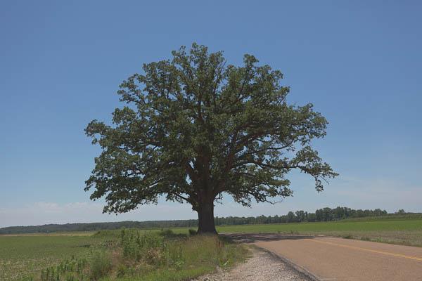 The Big Tree Columbia MO