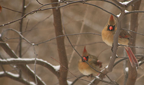 two female cardinals