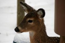 deer after adjustments