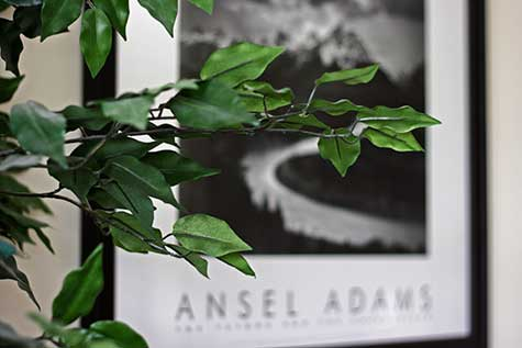tree branch and ansel adams