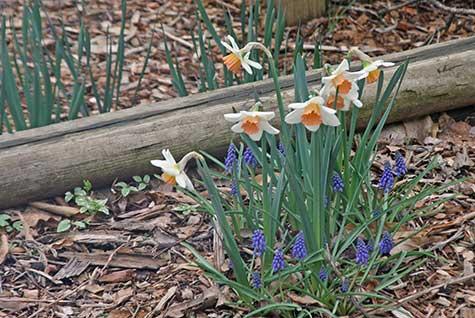 daffodils and grape hyacinths