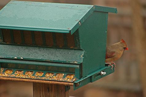 Female Cardinal at bird feeder