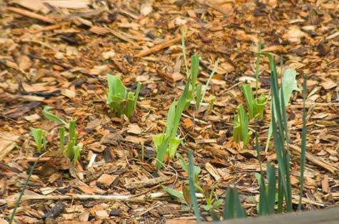 tulips as deer food