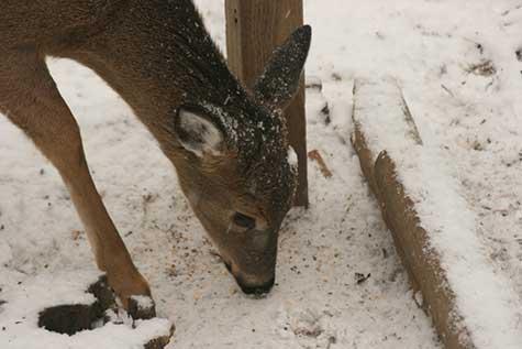 deer at the bird feeder