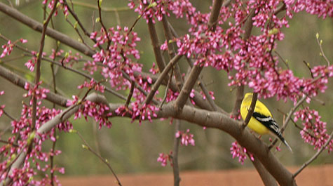 finch in redbud