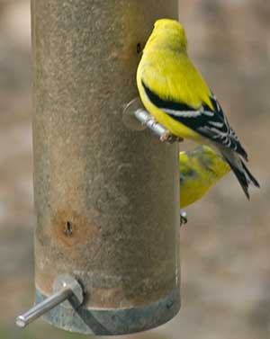finch with turned head