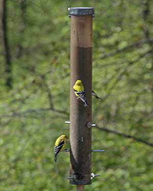 finches at the feeder