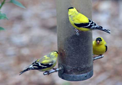 three finches