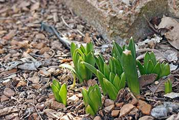 more flowers pushing up through the ground
