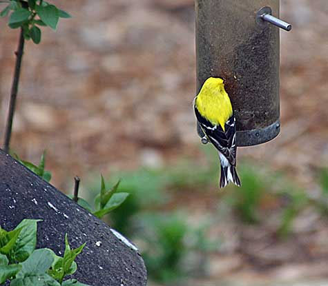 one yellow finch