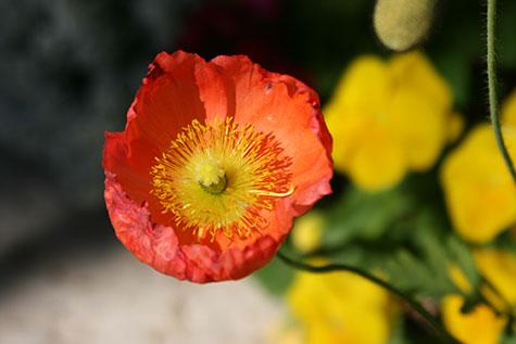Palm Desert Poppy