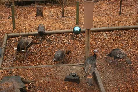 five wild turkeys