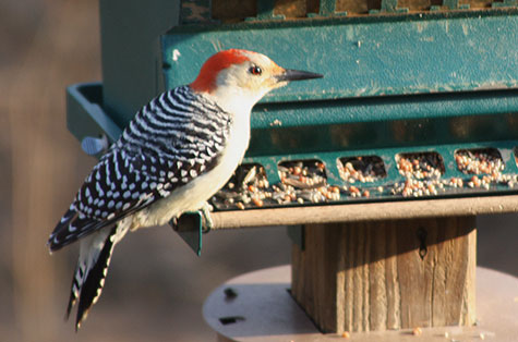 woodpecker in early morning