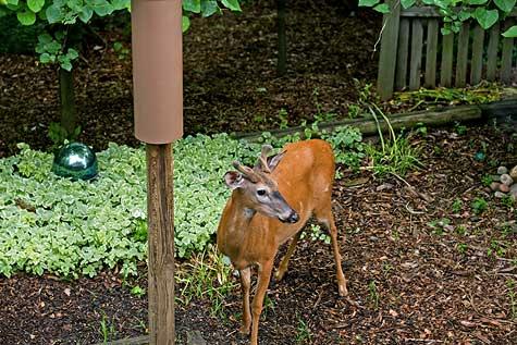 deer growing up