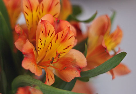 orange astramaris