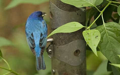 indigo bunting at the feeder