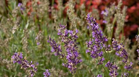 lavender by front door