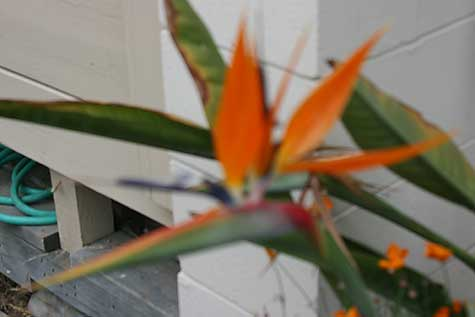 out of focus bird of paradise