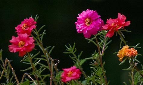 portulaca flower box