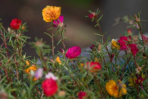 plethora of portulaca