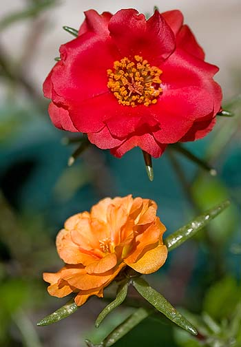 red moss rose