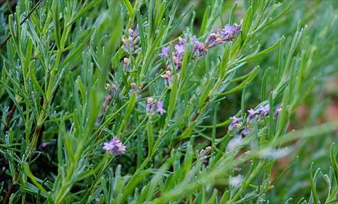 real lavender