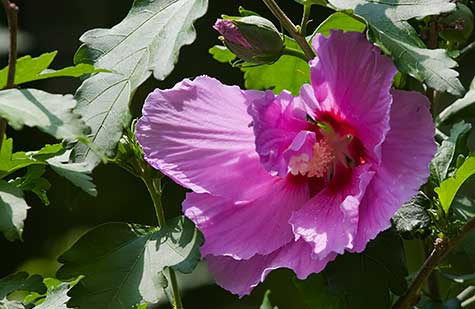 close up rose of sharon